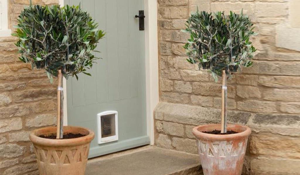 Korting Set van 2 olijfbomen