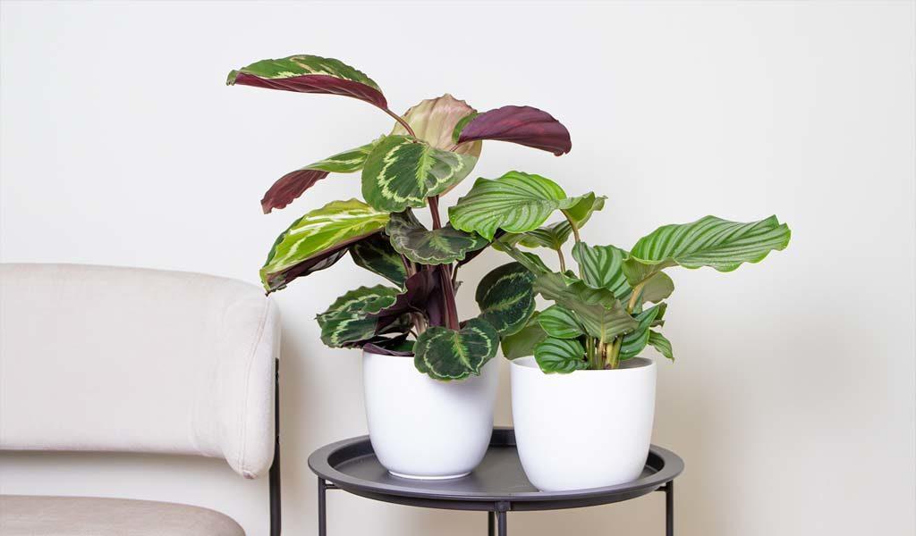 Set van 2 Calathea kamerplanten